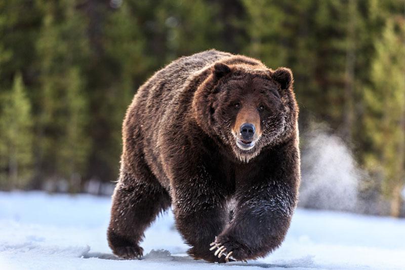 Nằm mơ thấy con gấu là điềm báo gì