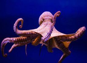 Mơ thấy bạch tuộc mang điềm báo xấu hay tốt?