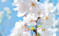 Mơ thấy hoa màu trắng điềm báo lành hay dữ?